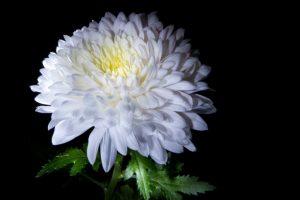 Crisantemo, non solo fiore ma rimedio contro i raffreddori estivi e i colpi di calore