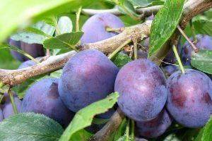 Ricco di vitamina E e antiossidanti, l'olio di prugna idrata la pelle e la rigenera