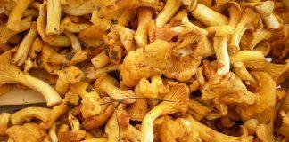 Finferli: economici e buoni, i gallinacci sono i funghi della stagione
