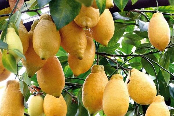 Lumia: che cos'è? Frutto del genere citrus a metà tra limone e cedro