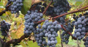 Che cos'è l'uva fragola? Proprietà della primizia americana