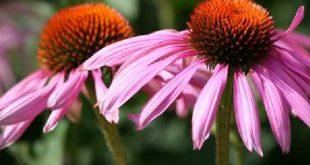 Echinacea: proprietà, benefici e controindicazioni