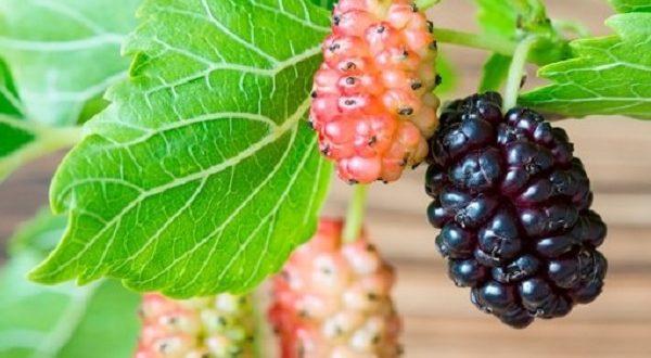 Gelso, frutto ricco di proprietà e benefici