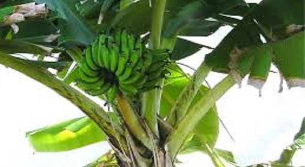 banane rischio estinzione fungo killer Sigatoka