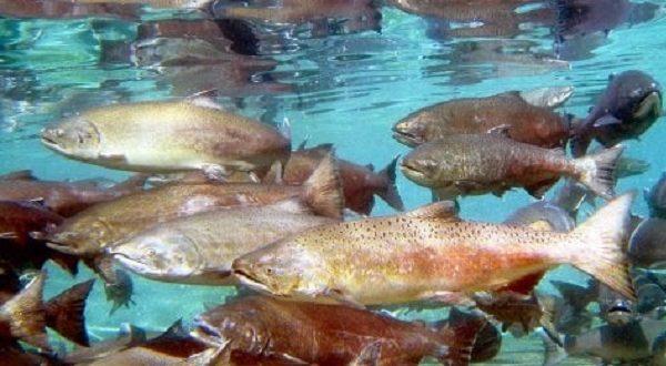 salmoni fuggiti nel pacifico
