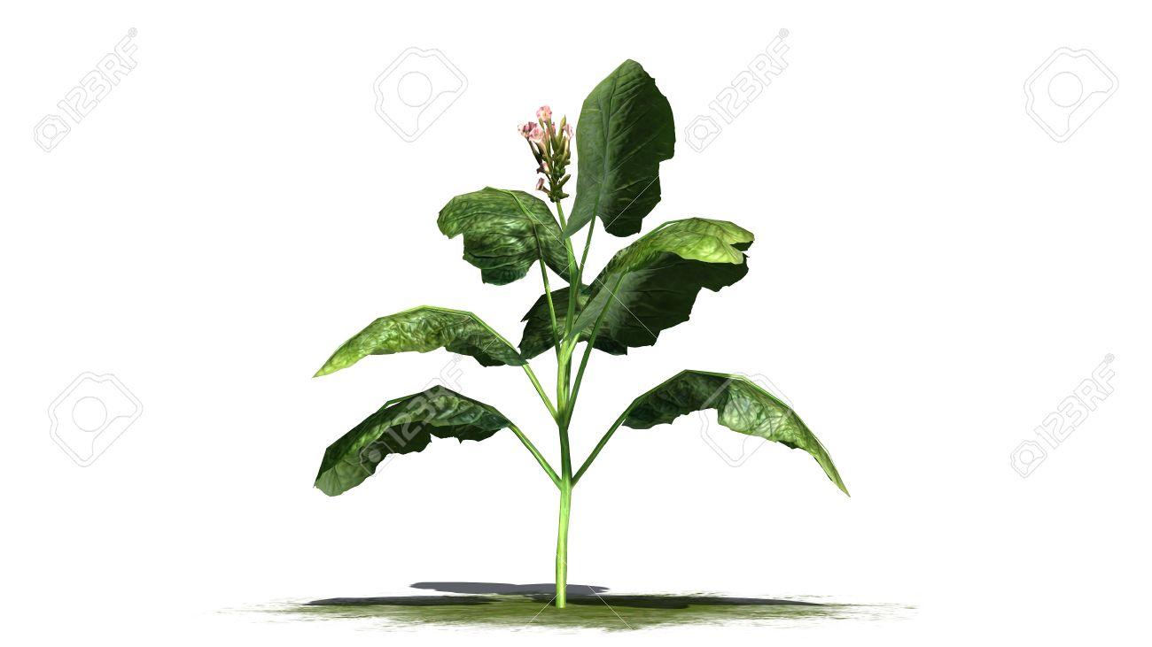 kit per coltivare tabacco a casa